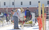 Husky at Dog Pulling Sled Competition — Stock Photo