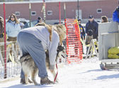 Husky getting ready at Dog Pulling Sled Competition — Stock Photo