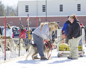 Husky getting ready to go at Dog Pulling Sled Competition — Stock Photo
