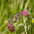 Stock Photo: Butterfly is pollinating clover
