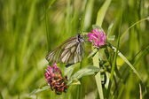 Butterfly is pollinating clover — Stock Photo