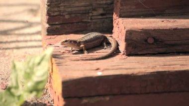 Piccola lucertola sotto il portico di una casa — Video Stock