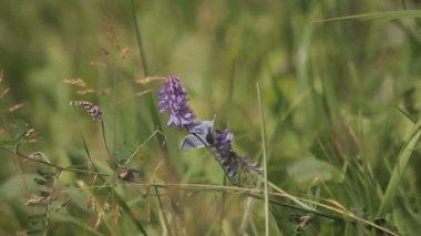 Purple butterfly on a flower field — Stock Video