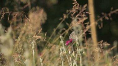 En la espesura de la mariposa — Vídeo de stock