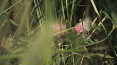 Butterflies on clover — Stock Video