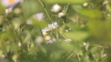 Chamomile in the grass — Stock Video