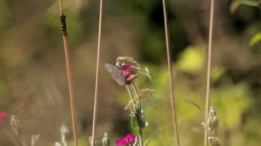 字段上粉色的花蝴蝶 — 图库视频影像