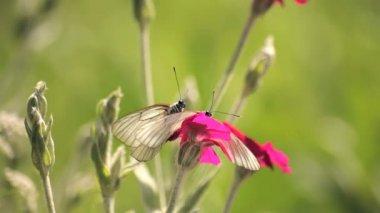 Racimo de mariposas en una flor rosa — Vídeo de stock