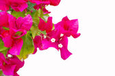 Pink flowers. Isolated white background. — Stock Photo