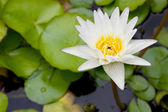 Flower.white lotus flower in the lake — Stock Photo