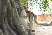 Cabezas de buda en el árbol raíz wat mahathat, tailandia — Foto de Stock