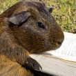 Stock Photo: Guinea pig