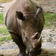 Stock Photo: Rhinoceros front view