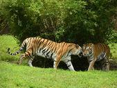 野生のトラ — ストック写真