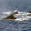 Stock Photo: Sperm whales in Pacific