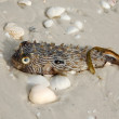 Poisonous pufer fish on beach — Stok fotoğraf