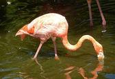 Flamingo in the wild — Photo