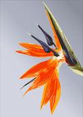 Bird of paradise flower floral — Stock Vector
