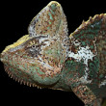 Chameleon — Stock Photo #12214247
