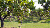 Mango farm — Photo