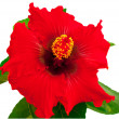Spanish lady hibiscus — Stock Photo