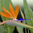 Bird of paradise in the garden — Stock Photo