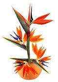 Bird of paradise single flower — Stock Photo