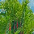 Lipstick Palm - Foto de Stock