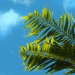 Palm leaves - Foto de Stock