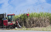 Sugar cane cutting — Stock Photo