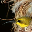Olive-backed Sunbird - Stock Photo