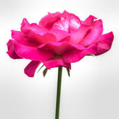 Pink single rose — Stock Photo