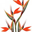 Beautiful bird of paradise bouquet — Stock Photo