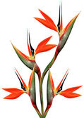 Beautiful bird of paradise bouquet — Photo