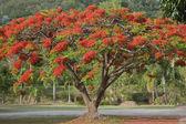 Poinciana tree — Stock Photo
