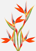 Beautiful bright bird of paradise bouquet — Stock Photo