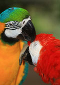 A pair of macaw — Stock Photo