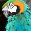 Blue Macaw — Stock Photo