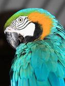 Blue Macaw — Stock Photo