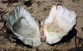 Clam shell — Stock Photo