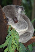 Koala at Cairns wildlife park — Stock Photo