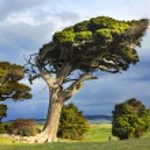 Wind swept tree — Stock Photo #27537701