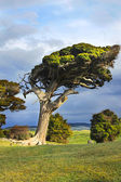 Wind swept tree — Stock Photo