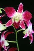 Orchid purple — Stock Photo