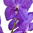 Vanda Pachara Delight Blue — Stock Photo