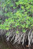 Mangrove — Foto de Stock