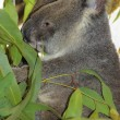 Koala Nth QLD — Stock Photo
