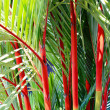 Cyrtostachys renda or Lipstick Palm — Stock Photo