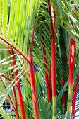 Cyrtostachys renda or Lipstick Palm — Stock Photo