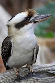 кукабарра дикий — Стоковое фото
